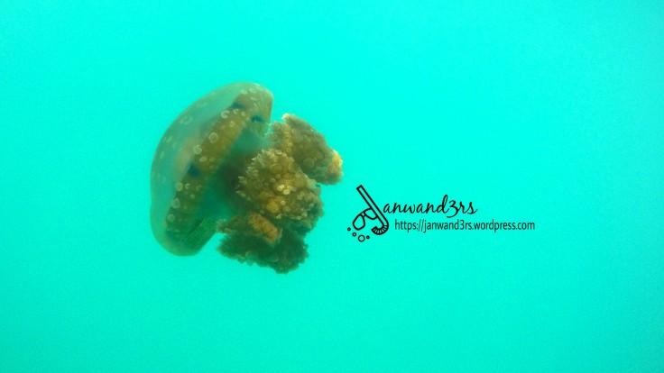 bucas-grande-island-jellyfish